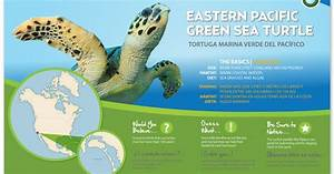 This infographic is about eastern pacific green sea ...