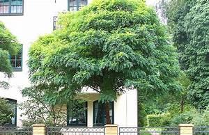 Baum Für Schattigen Vorgarten : kugelrobinie kugelakazie robinia pseudoacacia 39 umbraculifera 39 ~ Markanthonyermac.com Haus und Dekorationen