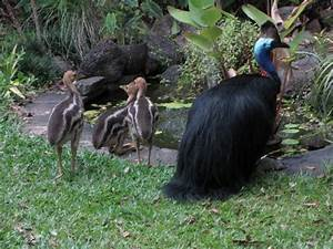 cassowary baby photos | BIRDS in BACKYARDS