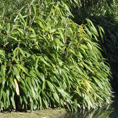 petit bambou sasa tessellata lot de 2 plantes et jardins
