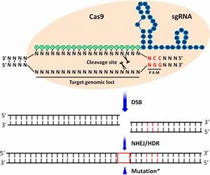 Schematic illustration of the CRISPR/Cas9 system struct ...
