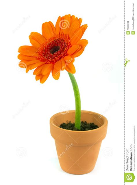orange gerbera flower in a terracotta pot stock images image 25763934