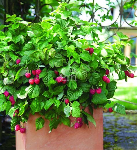framboisier brazel berries quot shortcake quot framboisier raspberries nos v 233 g 233 taux jardin2m