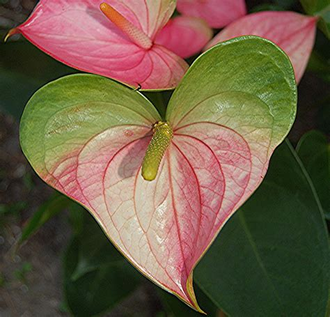 Heartshaped Pink And Green Anthurium  A Photo On Flickriver