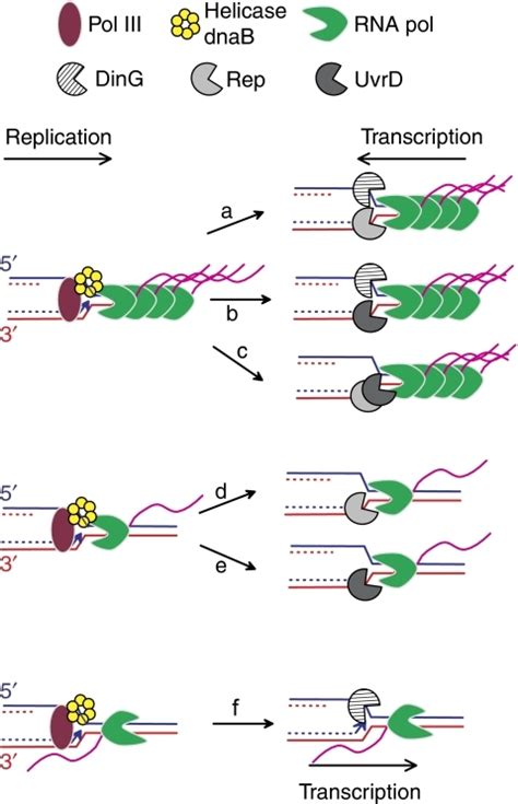 The Leading Strand Template Forms A Priming Loop by Rescue Of Transcription Blocked Replication Forks By He