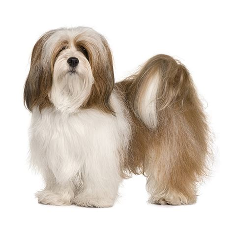 lhasa apso see description and pictures of this breed dogsuniverse co uk
