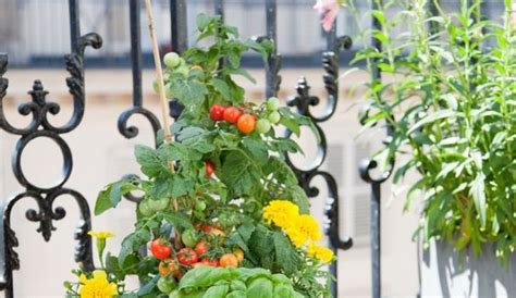 1000 ideas about planter des tomates cerises on planters growing tomatoes and