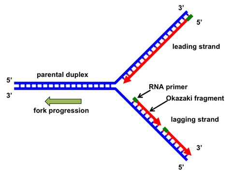 The Leading Strand Template Forms A Priming Loop by Why Can T Dna Polymerase Attach Things To The 5 End Of A