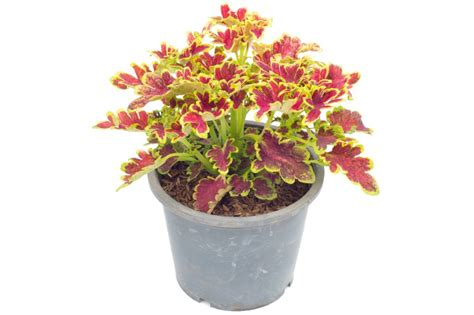 how to plant coleus flowers in pots grow plants in pots