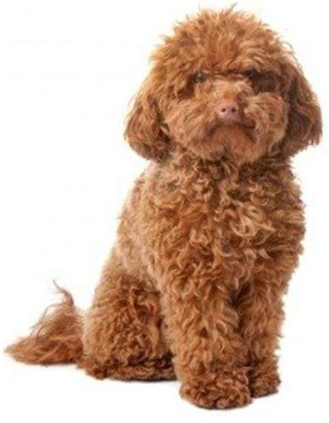small medium non shedding breeds small non shedding dogs small place