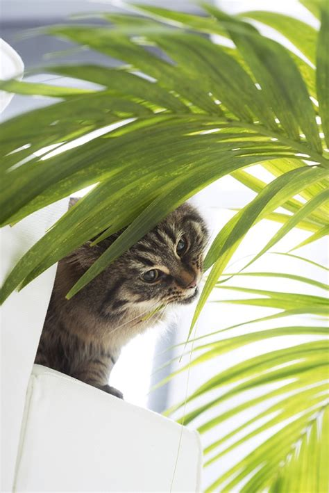 les intoxications par les plantes urgences du chat sant 233 chats