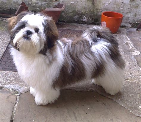 pin by tracy j angulo on lhasa apso doggies i lhasa lhasa apso and