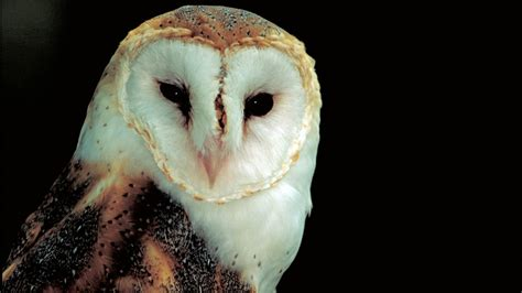 barn owl for barn owl hd wallpapers high definition free background