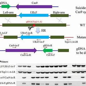 CRISPR-Cas9-mediated targeted gene deletion/replacement ...
