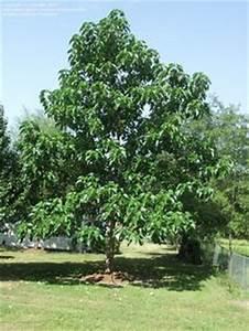 Baum Für Schattigen Vorgarten : blauglockenbaum schnellwachsender schattenspender garten pinterest blauglockenbaum baum ~ Markanthonyermac.com Haus und Dekorationen