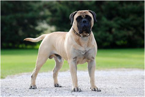 bullmastiff puppies rescue breeders pictures temperament facts animals adda