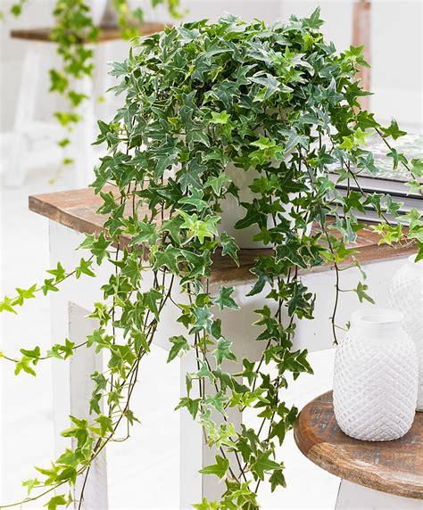 achetez maintenant une plante d int 233 rieur lierre panach 233 acheter bakker