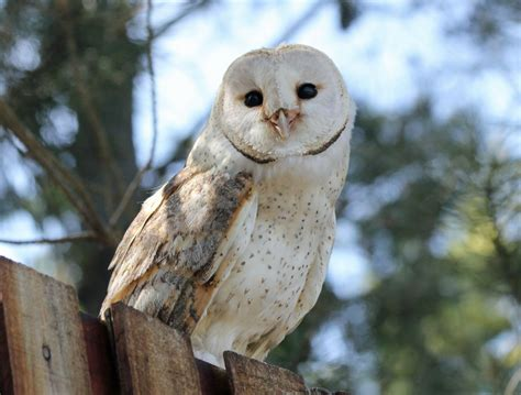 barn owl of bird