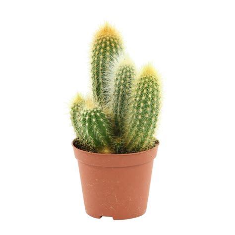 arrosage cactus en pot 28 images entretien des cactus cactus mediterraneens rustiques mini