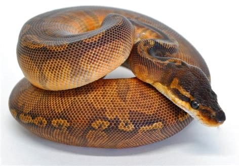 python shedding signs sunset python