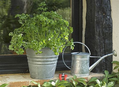 cultiver le persil en pot