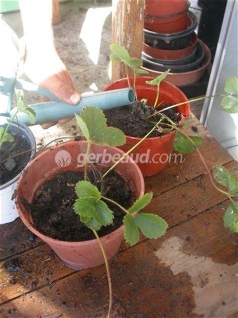 multiplication des fraisiers activit 233 enfant