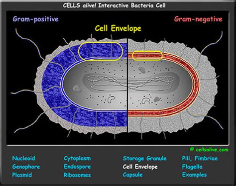 Interactive Cell Models
