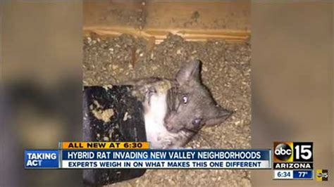 New Rat Hybrid Wreaks Havoc In Arizona Drain For Flat Roof Repair Albuquerque Roofing Nail Magnet Supply Oklahoma City 10x12 Gambrel Shed Plans Window Crossword Clue Composite Slate Remove Moss