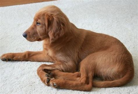 hair puppy picture of a setter puppy png