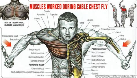 muscles worked during cable chest fly healthy fitness
