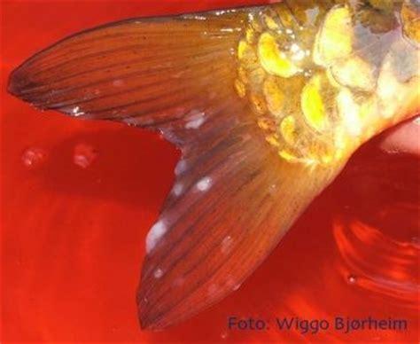 maladies virales des poissons d aquarium