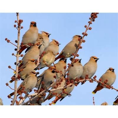 Birds Vol 1 #4 – The Bohemian Wax-WingLee's