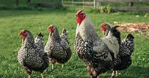 Hühner Im Garten : h hnerhaltung im garten mein sch ner garten ~ Markanthonyermac.com Haus und Dekorationen