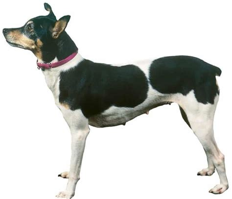 dogs breeds information rat terrier profiles and