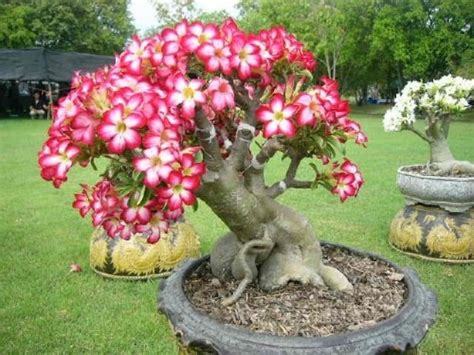 best 25 plumeria tree ideas on florida flowers florida landscaping and florida plants