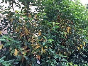 Lorbeer Gelbe Blätter : portugiesischer kirschlorbeer bekommt gelbe bl tter was k nnen die ursachen sein fragen ~ Markanthonyermac.com Haus und Dekorationen