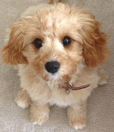small medium non shedding breeds 1000 ideas about non shedding dogs on